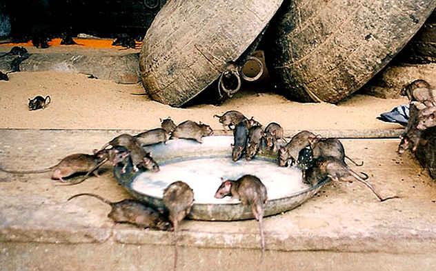 موشهای کارنی ماتا