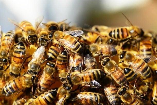 پوشیده شدن با بیشترین تعداد زنبور عسل