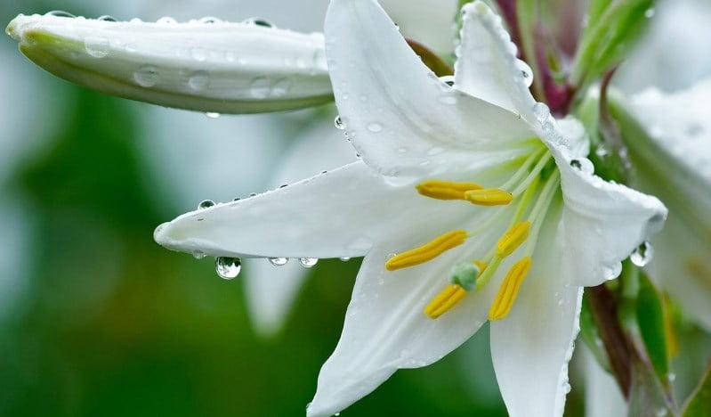 گل سوسن یا لیلیوم
