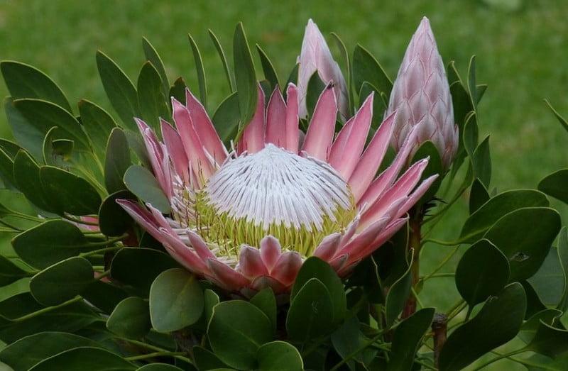 گل شکرپاره