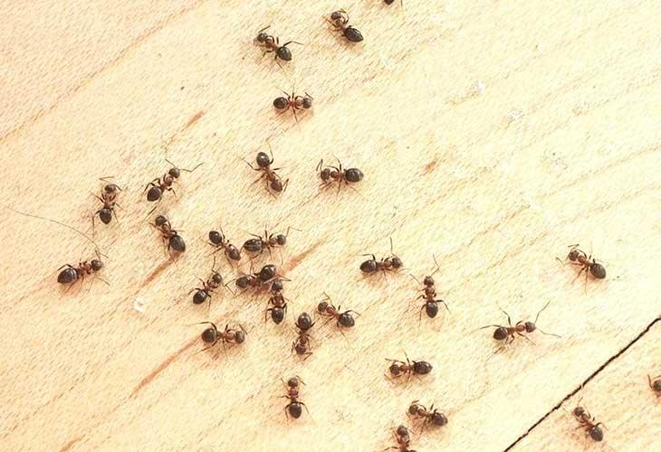 نحوه خلاصی از شّر مورچه های نجّار
